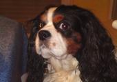 Puzzle mon chien saxo
