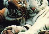 Puzzle tigres