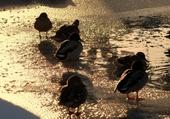 Taquin canards gelés