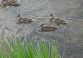 Puzzle canard au parc sherbrooke