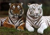 Taquin Tigres