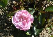 Puzzle en ligne Rose de mon jardin