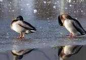 Jeux de puzzle : canards gelés