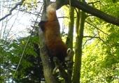 Puzzle le panda roux
