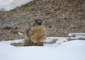 Puzzle en ligne Marmotte