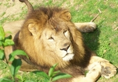 Puzzle en ligne le lion
