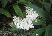 orchidée de nlle calédonie