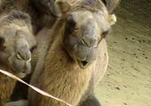 Puzzle en ligne chameaux