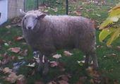 Taquin mouton aïd