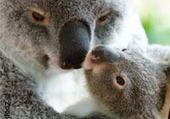 Puzzle koala