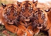 Puzzle Puzzle bb tigre