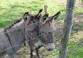 Jeux de puzzle : Les ânes