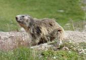 Puzzle Puzzle Marmotte