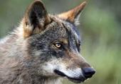 Puzzle gratuit Wolf