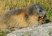 Puzzle gratuit Marmotte