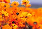 Puzzle fleurs des champs