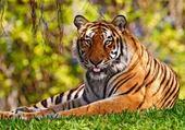 Puzzle Puzzle en ligne tigre