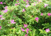 Puzzle Buisson fleuri