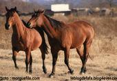 amitié entre chevaux