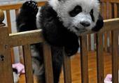 Puzzle Jeux de puzzle : Bébé panda.