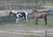 Puzzle chevaux