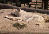 Puzzle loup blanc