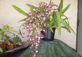 Jeux de puzzle : orchidée de nlle calédonie