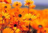 les fleur orange
