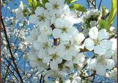 Jeux de puzzle : cerisier en fleurs