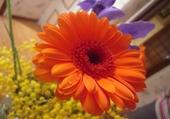 Puzzle Fleur de Gerbera