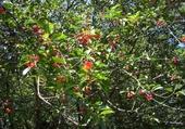 Puzzles cerisier berrichon