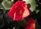 Puzzle Fleur de Camélia