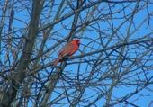 Puzzle Le cardinal mâle