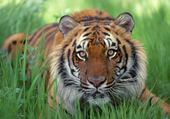 Puzzle gratuit Tigre 3