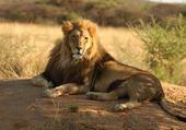 Puzzles lion