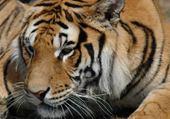 Tigre n°5