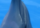 Jeux de puzzle : dauphin