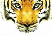 Jeux de puzzle : tigre