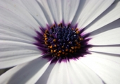 Puzzle Fleur osteospermum