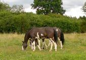 Puzzle troupeau de mon cheval zingaro