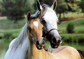 Puzzle le cheval et son poulain