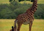 Puzzle Puzzle gratuit la girafe et son petit