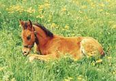Puzzle bebe cheval