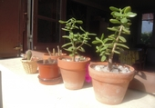 Puzzle Plantes grasses et cactus