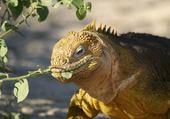 Puzzle iguane