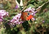 Puzzle jolie papillon butinant