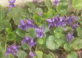 Puzzle Violettes et coccinelle