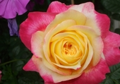 Puzzle rose loulou