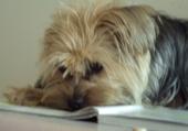 Puzzle chien qui lit