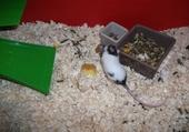 Puzzle rat